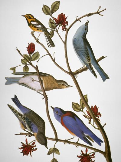 Audubon: Bluebirds-John James Audubon-Premium Giclee Print