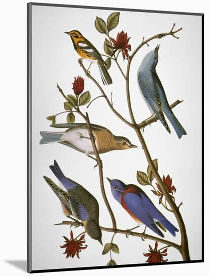 Audubon: Bluebirds-John James Audubon-Mounted Premium Giclee Print