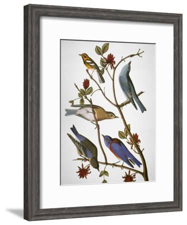 Audubon: Bluebirds-John James Audubon-Framed Giclee Print