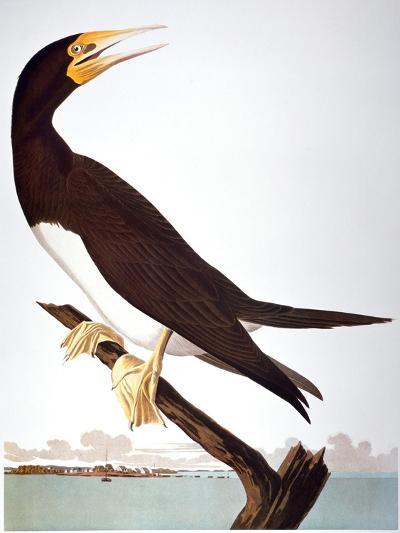 Audubon: Booby-John James Audubon-Giclee Print