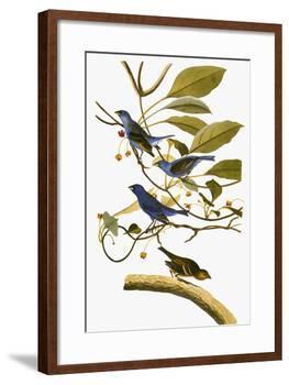 Audubon: Bunting, 1827-38-John James Audubon-Framed Giclee Print