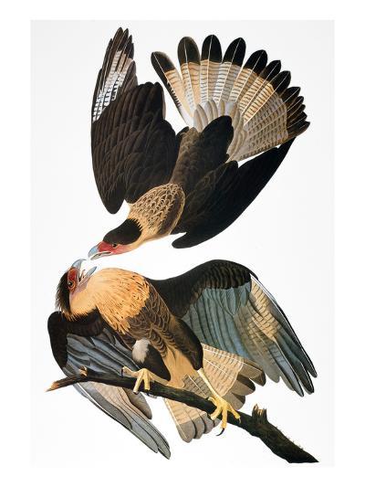 Audubon: Caracara, 1827-38-John James Audubon-Giclee Print