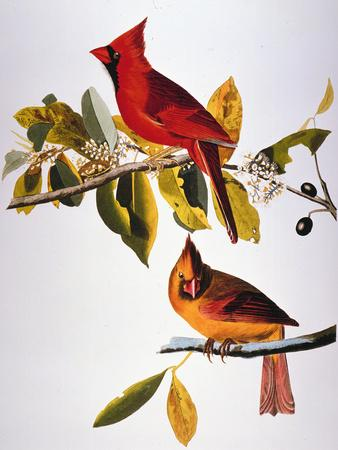 https://imgc.artprintimages.com/img/print/audubon-cardinal_u-l-pfc7ih0.jpg?artPerspective=n