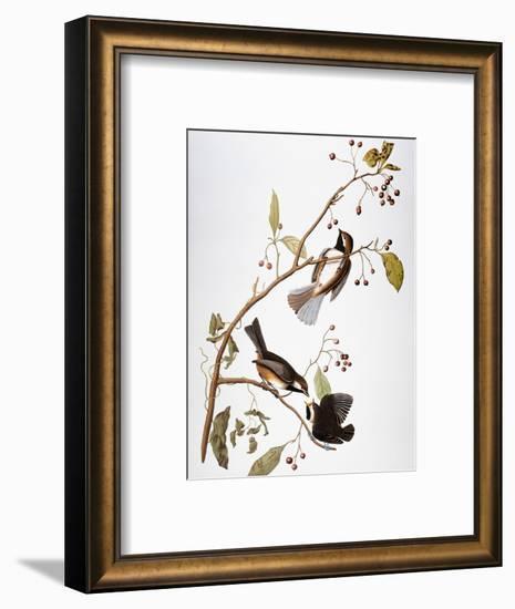 Audubon: Chickadee-John James Audubon-Framed Premium Giclee Print