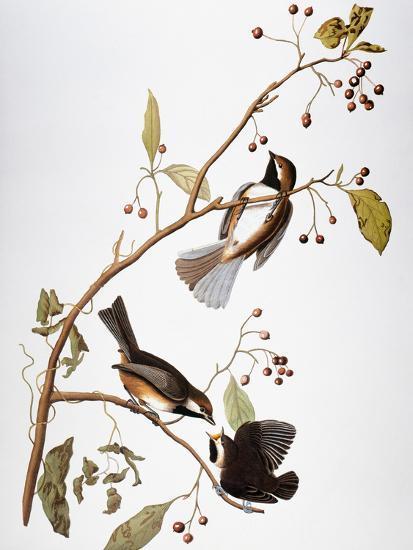 Audubon: Chickadee-John James Audubon-Giclee Print