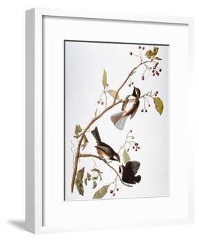 Audubon: Chickadee-John James Audubon-Framed Giclee Print
