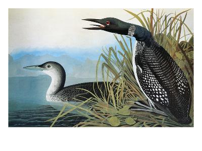 Audubon: Common Loon-John James Audubon-Premium Giclee Print