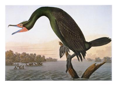 https://imgc.artprintimages.com/img/print/audubon-cormorant_u-l-pfd3930.jpg?artPerspective=n