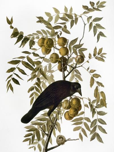 Audubon: Crow-John James Audubon-Giclee Print
