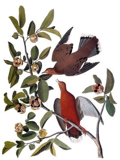 Audubon: Dove, 1827-38-John James Audubon-Giclee Print