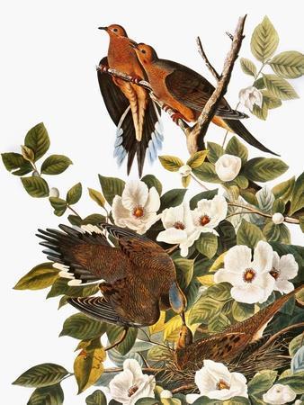 https://imgc.artprintimages.com/img/print/audubon-dove_u-l-pfc6ro0.jpg?artPerspective=n
