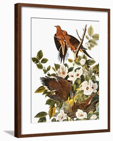 Audubon: Dove-John James Audubon-Framed Giclee Print