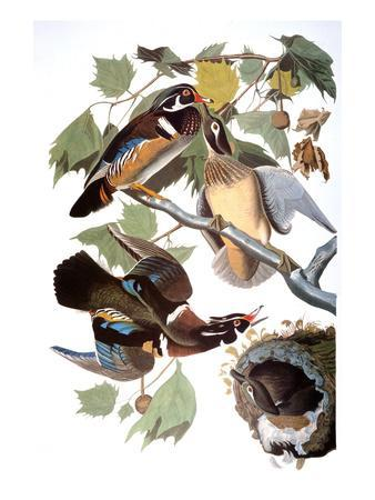 https://imgc.artprintimages.com/img/print/audubon-duck_u-l-pfd3fs0.jpg?p=0