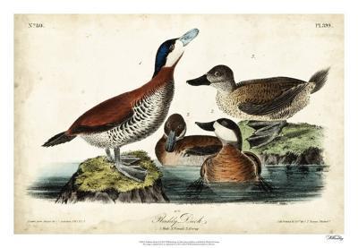 Audubon Ducks II-John James Audubon-Giclee Print