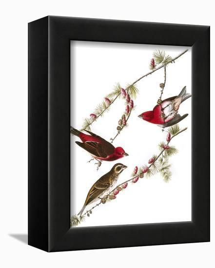Audubon: Finch, 1827-38-John James Audubon-Framed Stretched Canvas Print