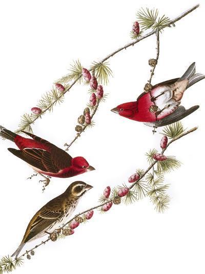 Audubon: Finch, 1827-38-John James Audubon-Giclee Print