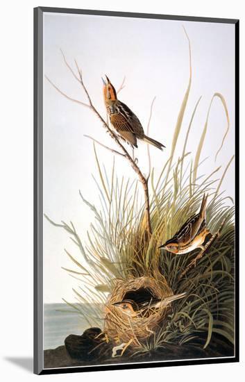 Audubon: Finch-John James Audubon-Mounted Premium Giclee Print