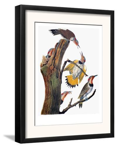 Audubon: Flicker-John James Audubon-Framed Giclee Print