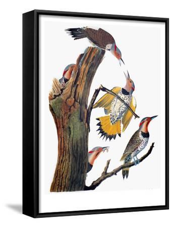 Audubon: Flicker-John James Audubon-Framed Art Print
