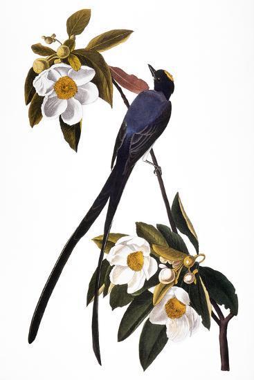 Audubon: Flycatcher, 1827-John James Audubon-Giclee Print