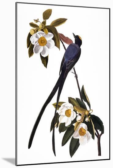Audubon: Flycatcher, 1827-John James Audubon-Mounted Giclee Print