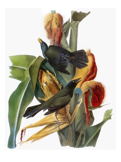 Audubon: Grackle-John James Audubon-Giclee Print