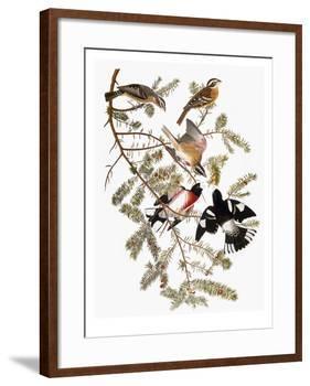Audubon: Grosbeak-John James Audubon-Framed Giclee Print