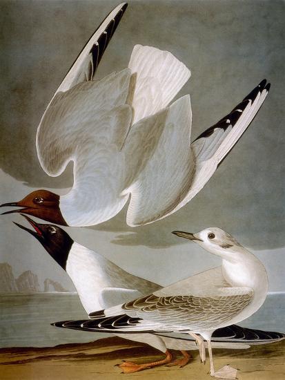 Audubon: Gull-John James Audubon-Premium Giclee Print