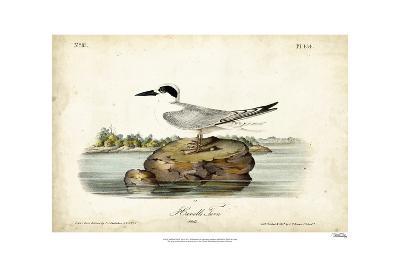 Audubon Havells Tern-John James Audubon-Art Print