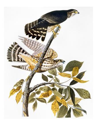 https://imgc.artprintimages.com/img/print/audubon-hawk_u-l-pfd41i0.jpg?p=0