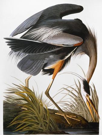 https://imgc.artprintimages.com/img/print/audubon-heron_u-l-pfc8o20.jpg?p=0