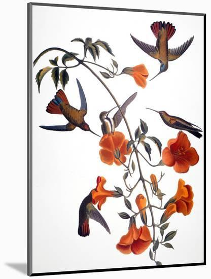 Audubon: Hummingbird-John James Audubon-Mounted Premium Giclee Print