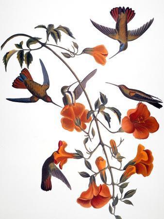 https://imgc.artprintimages.com/img/print/audubon-hummingbird_u-l-pfc8si0.jpg?artPerspective=n