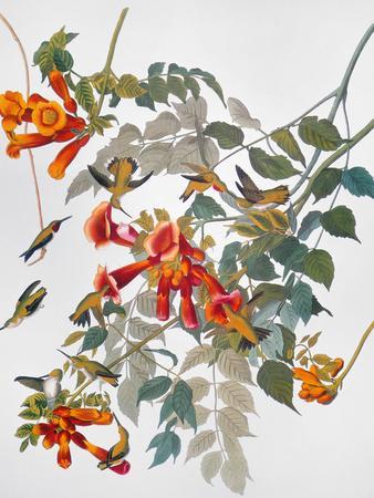 https://imgc.artprintimages.com/img/print/audubon-hummingbird_u-l-pfc8tr0.jpg?artPerspective=n