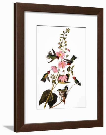 Audubon: Hummingbird-John James Audubon-Framed Premium Giclee Print