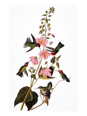https://imgc.artprintimages.com/img/print/audubon-hummingbird_u-l-pfc8v10.jpg?artPerspective=n