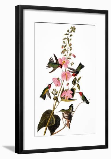 Audubon: Hummingbird-John James Audubon-Framed Giclee Print