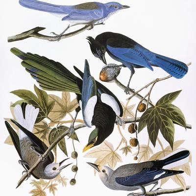 https://imgc.artprintimages.com/img/print/audubon-jay-and-magpie_u-l-pfd3co0.jpg?artPerspective=n