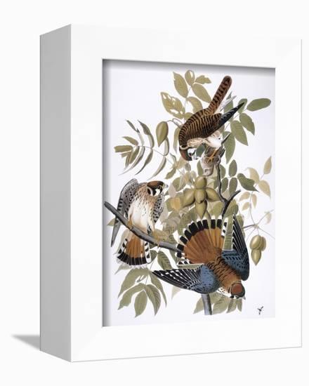 Audubon: Kestrel, 1827-John James Audubon-Framed Premier Image Canvas