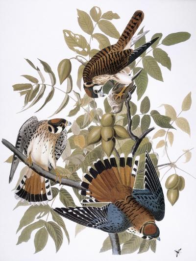 Audubon: Kestrel, 1827-John James Audubon-Giclee Print