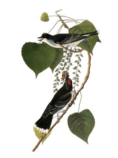 Audubon: Kingbird, 1827-38-John James Audubon-Giclee Print