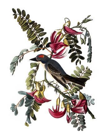 https://imgc.artprintimages.com/img/print/audubon-kingbird-1827-38_u-l-pfc5uh0.jpg?artPerspective=n