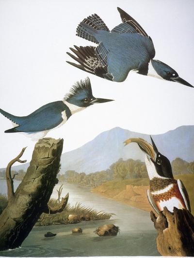 Audubon: Kingfisher, 1827-John James Audubon-Giclee Print