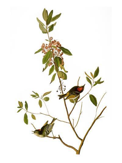 Audubon: Kinglet, 1827-John James Audubon-Giclee Print