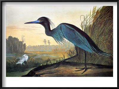 Audubon: Little Blue Heron-John James Audubon-Framed Art Print