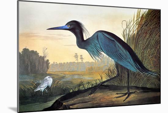 Audubon: Little Blue Heron-John James Audubon-Mounted Premium Giclee Print