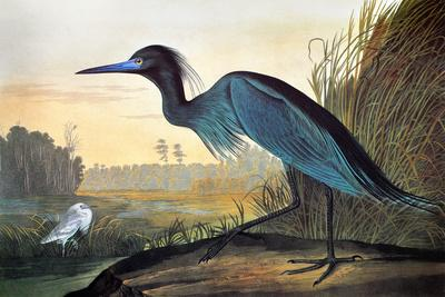 https://imgc.artprintimages.com/img/print/audubon-little-blue-heron_u-l-q1ga33m0.jpg?p=0