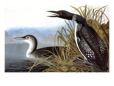 Audubon: Loon, 1827-John James Audubon-Giclee Print