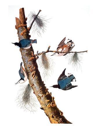 https://imgc.artprintimages.com/img/print/audubon-nuthatch_u-l-pfdd6b0.jpg?p=0
