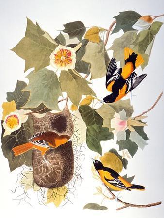 https://imgc.artprintimages.com/img/print/audubon-oriole_u-l-pfd6bn0.jpg?artPerspective=n